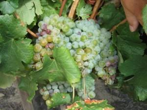 Südafrika_Weinsorten10