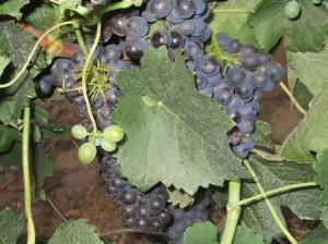 Südafrika_Weinsorten16