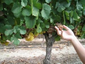 Südafrika_Weinsorten4