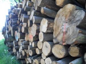 Königstein_Bäume